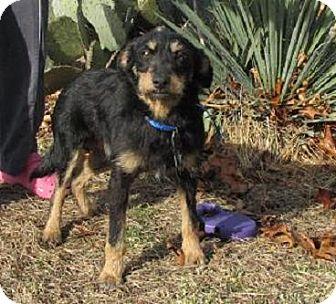 Norwich Terrier/Norfolk Terrier Mix Dog for adoption in Oakland, Arkansas - Scruffy