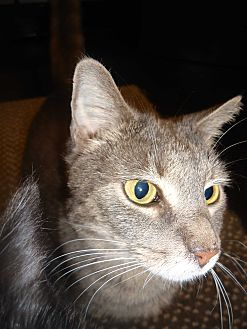 Domestic Shorthair Cat for adoption in Barnwell, South Carolina - Molly