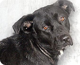 Labrador Retriever/Border Collie Mix Dog for adoption in Orange Lake, Florida - Tori