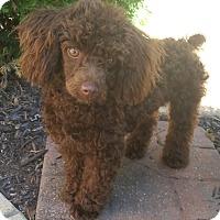 Adopt A Pet :: CoCo-Adoption pending - Bridgeton, MO