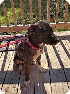 Retriever (Unknown Type) Mix Dog for adoption in Knoxville, Tennessee - Rita