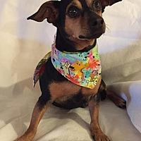 Adopt A Pet :: Bella in Texarkana, TX - Texarkana, TX