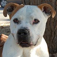 English Bulldog/Pit Bull Terrier Mix Dog for adoption in Las Vegas, Nevada - Rod
