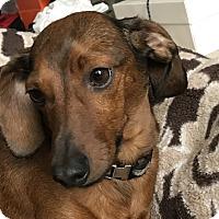 Adopt A Pet :: Quinner - Tumwater, WA