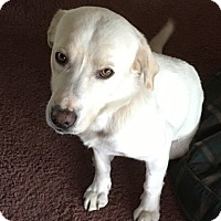 Labrador Retriever Dog for adoption in Annapolis, Maryland - Ben