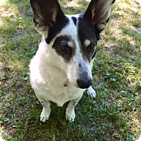 Adopt A Pet :: Maggie Great Family Doggie Turnkey Girl loves Cats - Rowayton, CT