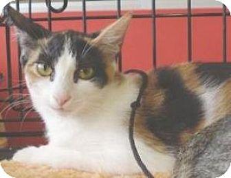 Domestic Shorthair Kitten for adoption in Miami, Florida - Pocketchange