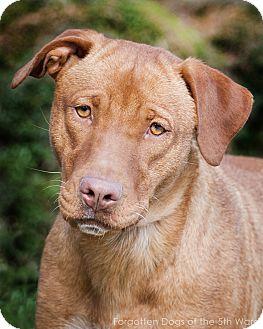 Vizsla/Labrador Retriever Mix Dog for adoption in Houston, Texas - Sally