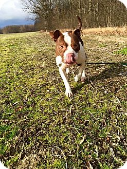 American Bulldog/English Bulldog Mix Dog for adoption in Grafton, Ohio - LUXE