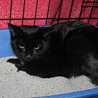 Domestic Shorthair Cat for adoption in Logan, Utah - Marvin