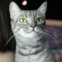 Domestic Shorthair Cat for adoption in Raleigh, North Carolina - Beatrix H