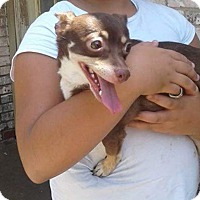 Chihuahua/Dachshund Mix Dog for adoption in Astoria, New York - Coco Bean