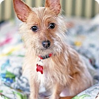 Adopt A Pet :: Pauline - San Diego, CA