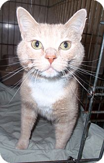 Domestic Mediumhair Cat for adoption in Loudonville, New York - Odo