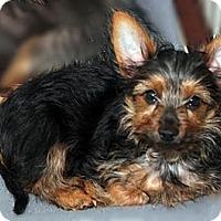 Adopt A Pet :: Peppercorn - Toronto, ON