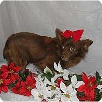 Adopt A Pet :: Cupcake - Chandlersville, OH