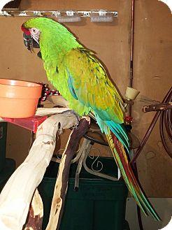 Macaw for adoption in Lenexa, Kansas - Jabbers