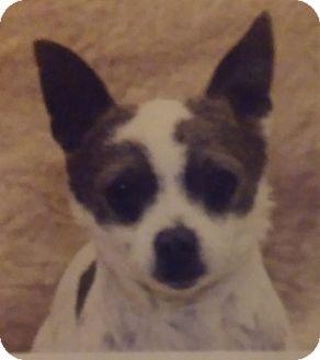 Chihuahua Mix Dog for adoption in Santa Rosa, California - Paprika