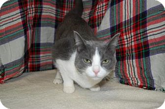 Domestic Shorthair Cat for adoption in South Haven, Michigan - Dolce