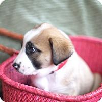 Adopt A Pet :: Cabala - Evergreen, CO