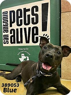 Labrador Retriever/Labrador Retriever Mix Dog for adoption in San Antonio, Texas - 389053 Blue