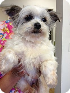 Shih Tzu/Poodle (Miniature) Mix Dog for adoption in Santa Monica, California - Peep