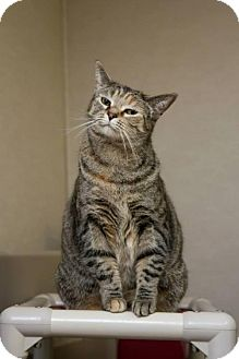 Domestic Shorthair Cat for adoption in Frankenmuth, Michigan - Dottie