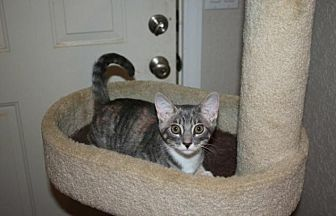 Domestic Shorthair Kitten for adoption in Sarasota, Florida - Cookie