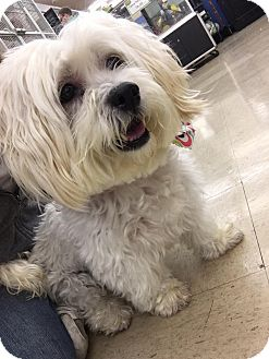 Lhasa Apso/Shih Tzu Mix Dog for adoption in Frankfort, Illinois - Hannah