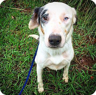 Catahoula Leopard Dog/Australian Shepherd Mix Dog for adoption in Fredericksburg, Texas - Marlee