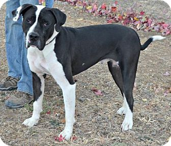 Mastiff/American Bulldog Mix Dog for adoption in Yreka, California - Charlie