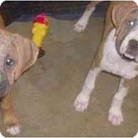 Adopt A Pet :: Molli and Beatrice - Sunderland, MA