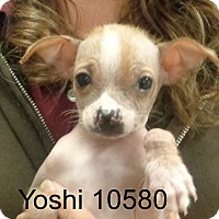 Adopt A Pet :: Yoshi - Greencastle, NC