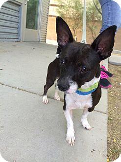 Chihuahua/Chihuahua Mix Dog for adoption in Duchess, Alberta - Rocker