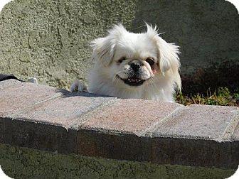 Pekingese Dog for adoption in SO CALIF, California - PEARL