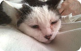 Domestic Shorthair Cat for adoption in Plantsville, Connecticut - Vito