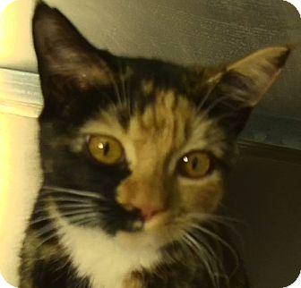 Domestic Shorthair Kitten for adoption in El Cajon, California - Cookie