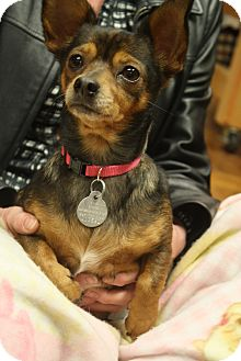 Chihuahua/Terrier (Unknown Type, Small) Mix Dog for adoption in Homewood, Alabama - Olivia