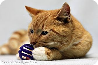 Domestic Shorthair Cat for adoption in Athens, Georgia - Sugar