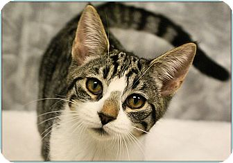 Domestic Shorthair Cat for adoption in Elmwood Park, New Jersey - Clark