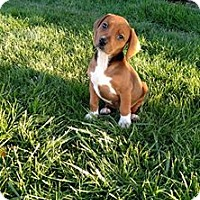 Adopt A Pet :: Trixie - Ft. Collins, CO