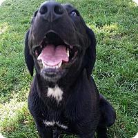 Labrador Retriever Mix Dog for adoption in Battleboro, Vermont - Kennedy