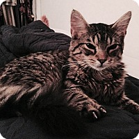 Adopt A Pet :: Javelin - Brooklyn, NY