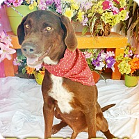Labrador Retriever Mix Dog for adoption in Odessa, Texas - Boston