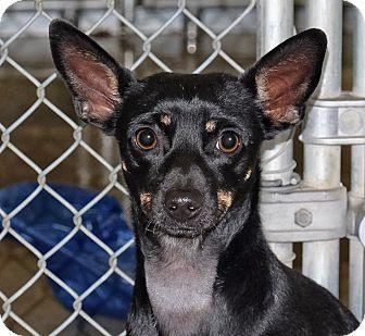 Miniature Pinscher Mix Dog for adoption in Spokane, Washington - Alta