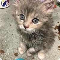 Adopt A Pet :: Sophia - Jackson, NJ