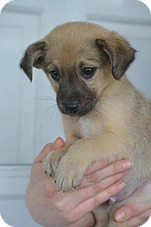 Collie Mix Puppy for adoption in Danbury, Connecticut - Kieran