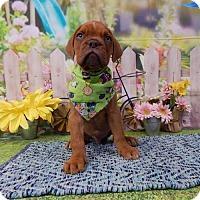 Adopt A Pet :: Dax PENDING - Manchester, NH