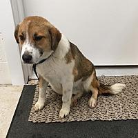 Adopt A Pet :: Haley - Lancaster, VA