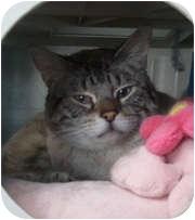 Siamese Cat for adoption in Anchorage, Alaska - Tristan
